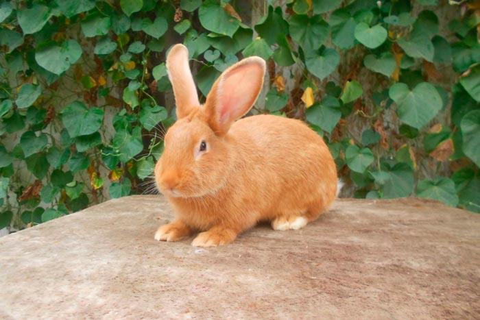 Кролики бургундской породы: ценность и особенности содержания