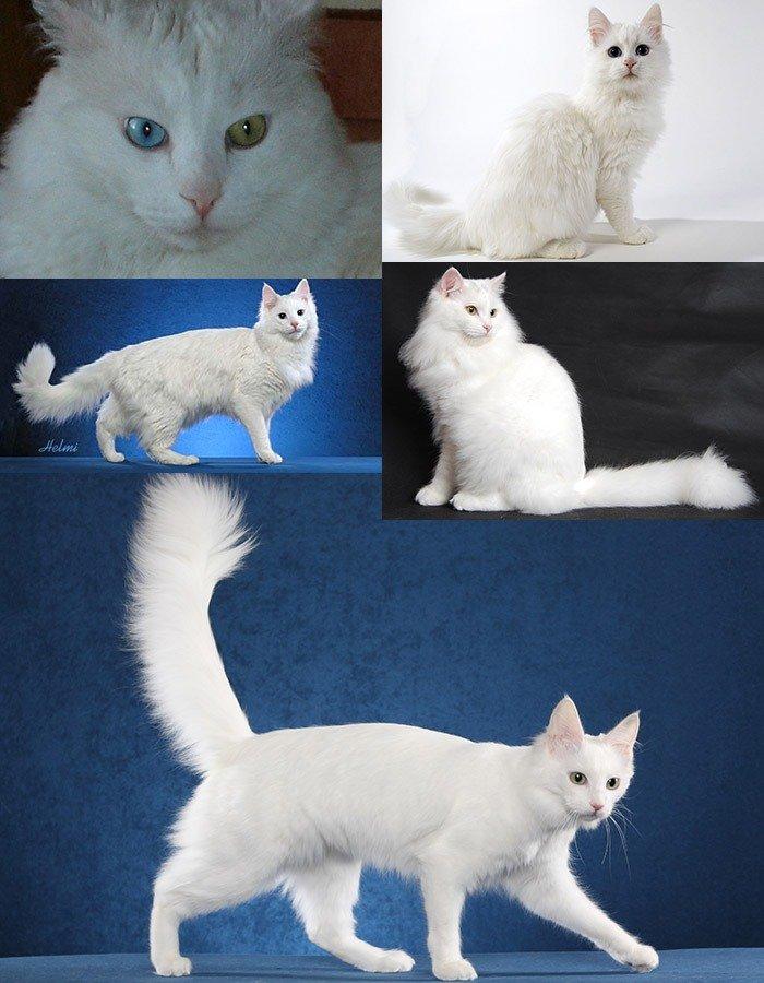 Самые известные породы кошек: список