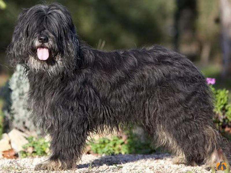 8 португальских пород собак, с которыми вы должны познакомиться - домашние питомцы - 2021
