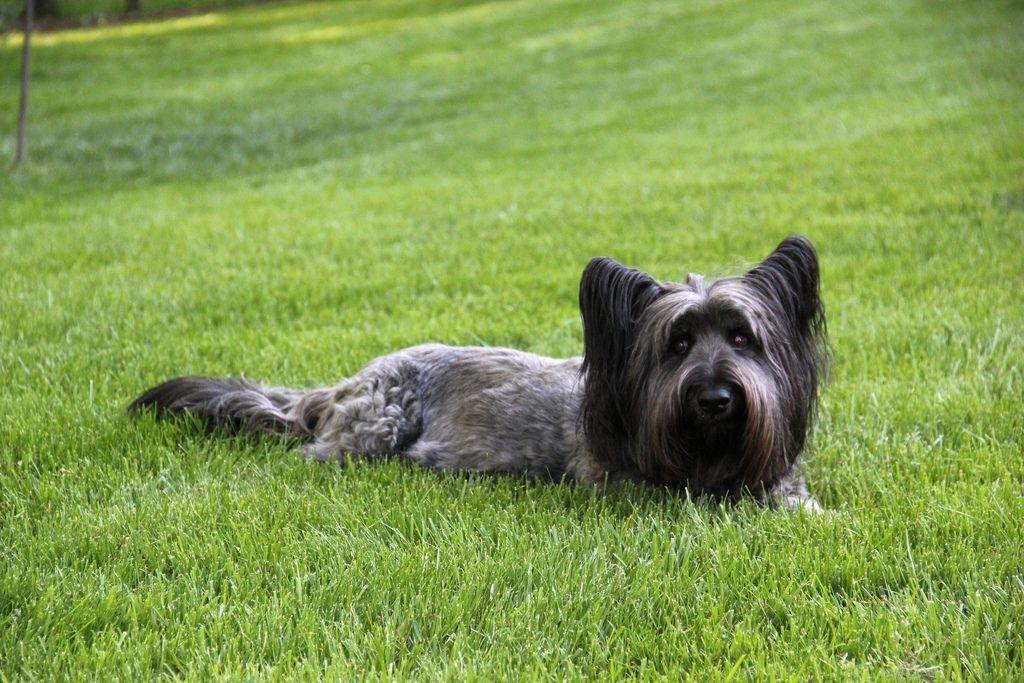 Скай-терьер: фото породы собак, характер т экстерьер скай-терьеров