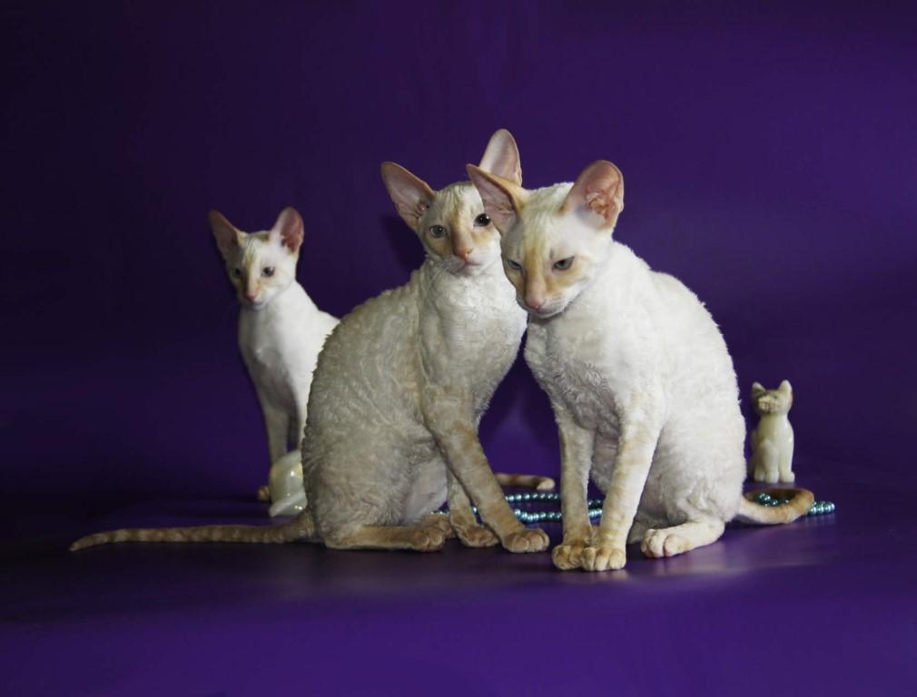 Корниш рекс: описание породы кошек, характер, окрасы, фото, кормление, уход и содержание   zoosecrets