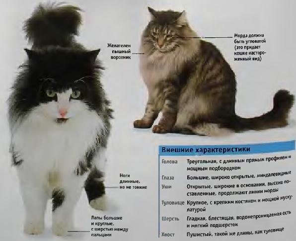 Норвежская лесная кошка: фото, описание породы, характер, здоровье, уход и содержание