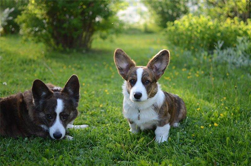 Порода собак корги, фото, описание, характеристика, цена