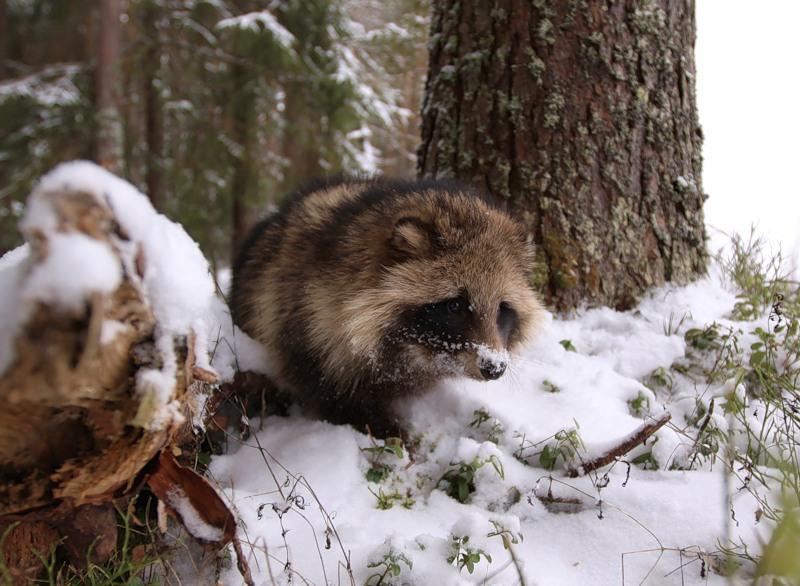 Разведение енотов и енотовидных собак, особенности ухода, кормления, размножения, рацион