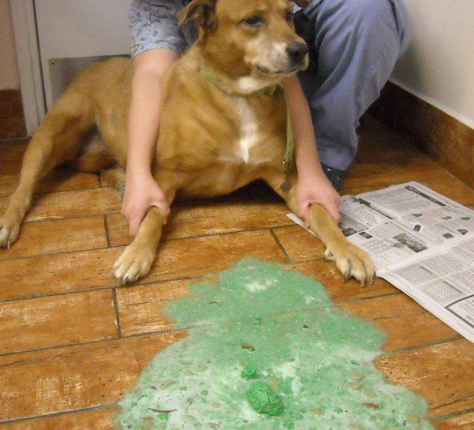 Рвота у собаки: желтая, с пеной и другие виды, возможные причины, лечение