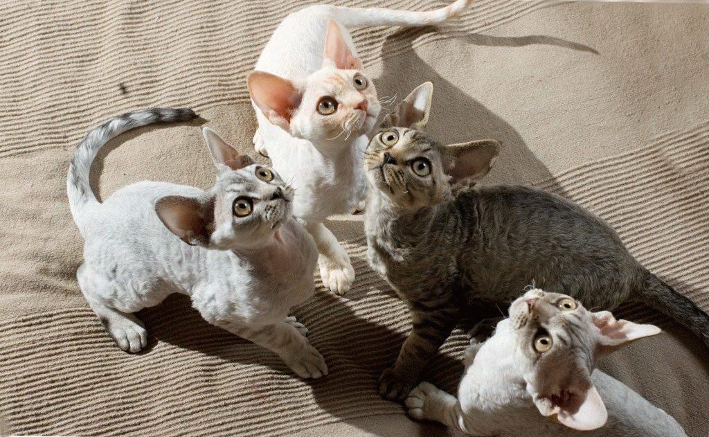 Породы кошек, которые не вызывают аллергию. особенности аллергии на котов