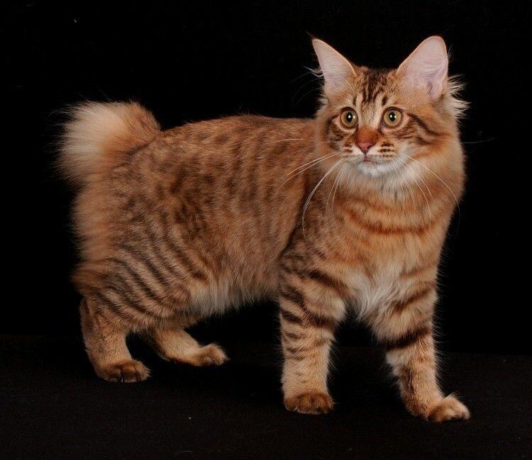 Топ 10 самых больших пород кошек в мире — названия, вес, фото и описание