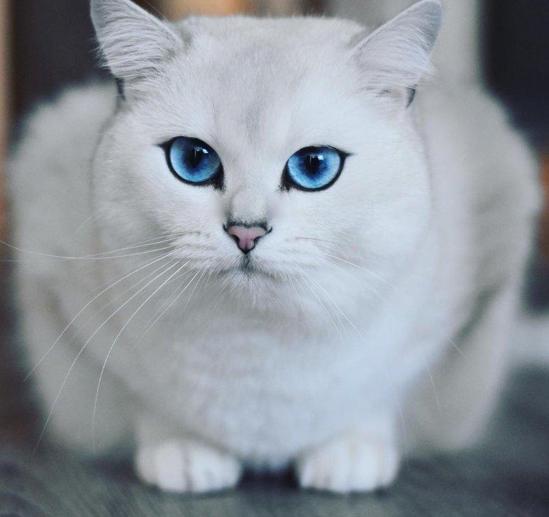 Клички для сибирских кошек и котов