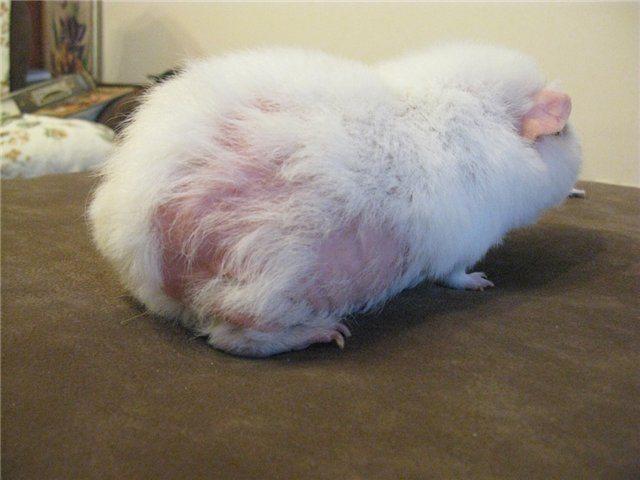 Заболевания морских свинок: виды, симптомы, лечение и профилактика | zoodom