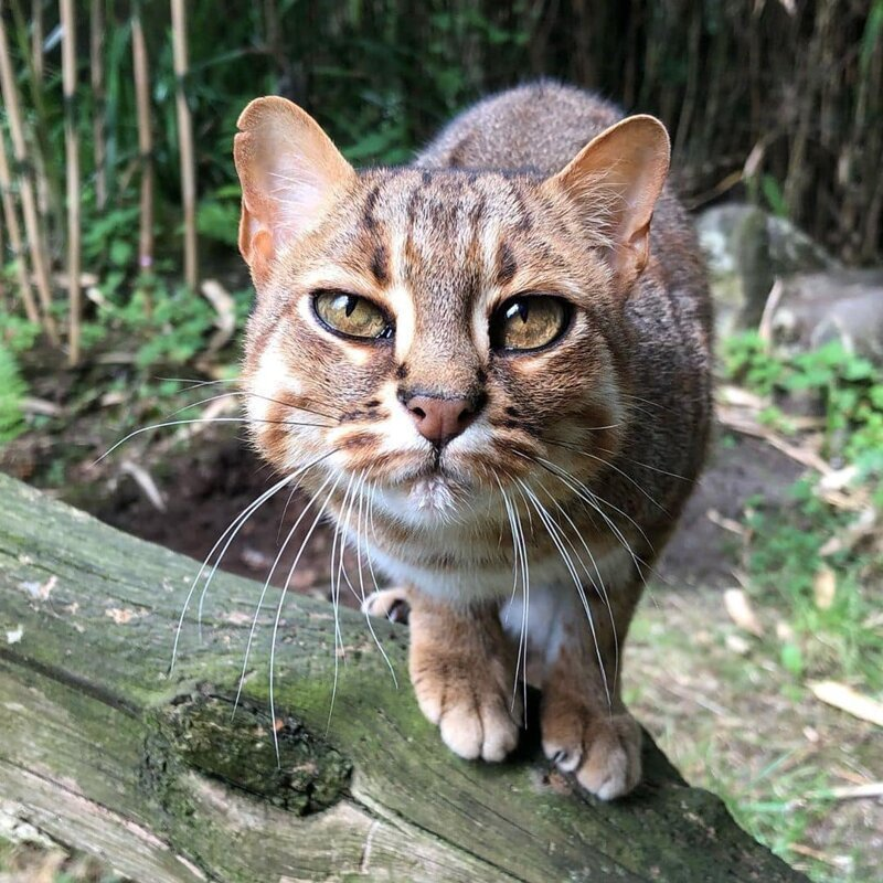 Самая спокойная порода кошек, дружелюбные породы для квартиры или дома, список топ котов с фотографиями