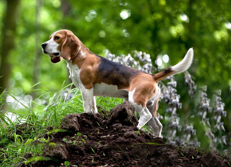 Бигль описание породы: характер собаки, правила воспитание бигля