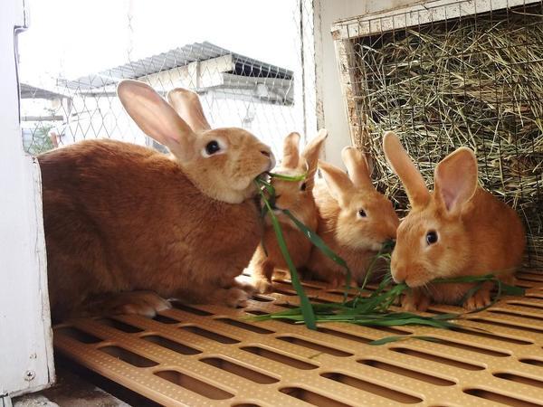 Бургундский кролик характеристики породы