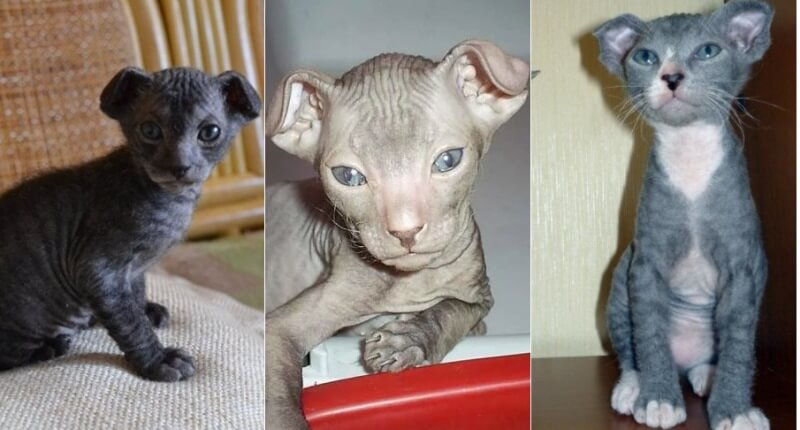 Кошка рагамаффин: описание внешности и характера породы, уход за питомцем и его содержание, выбор котёнка, отзывы владельцев, фото кота