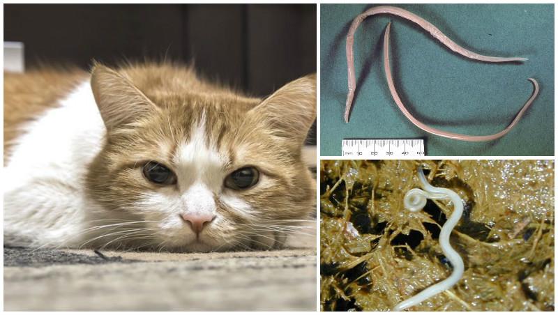 Ленточные глисты у кошек. симптомы и лечение