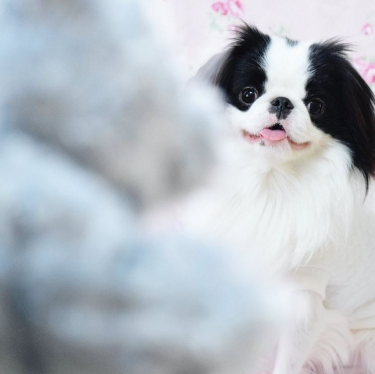 Порода собак японский хин: фото и описание