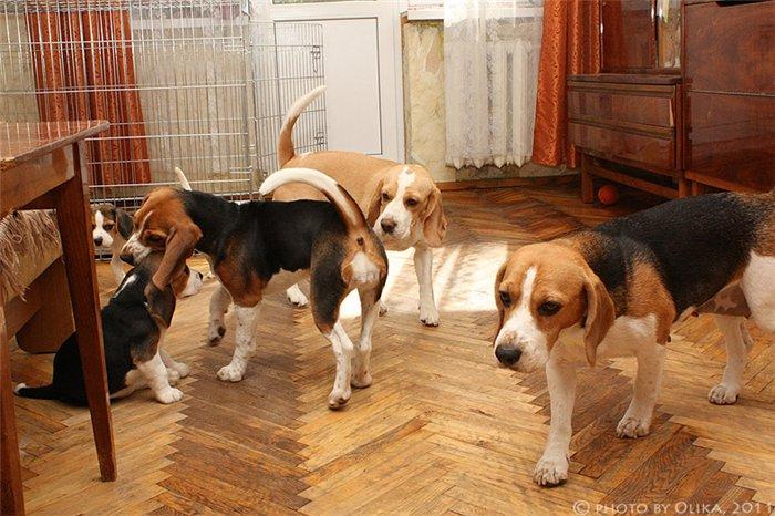 Содержание и уход за собакой породы бигль дома и на улице
