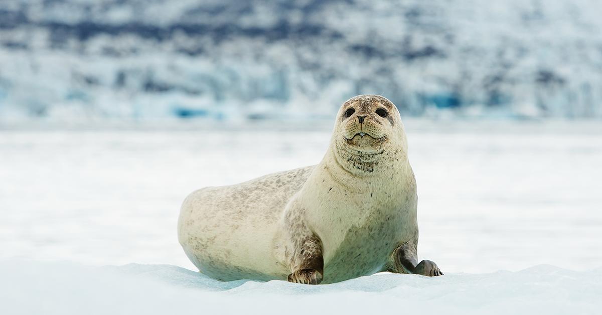Морской заяц (лахтак): описание, фото, образ жизни
