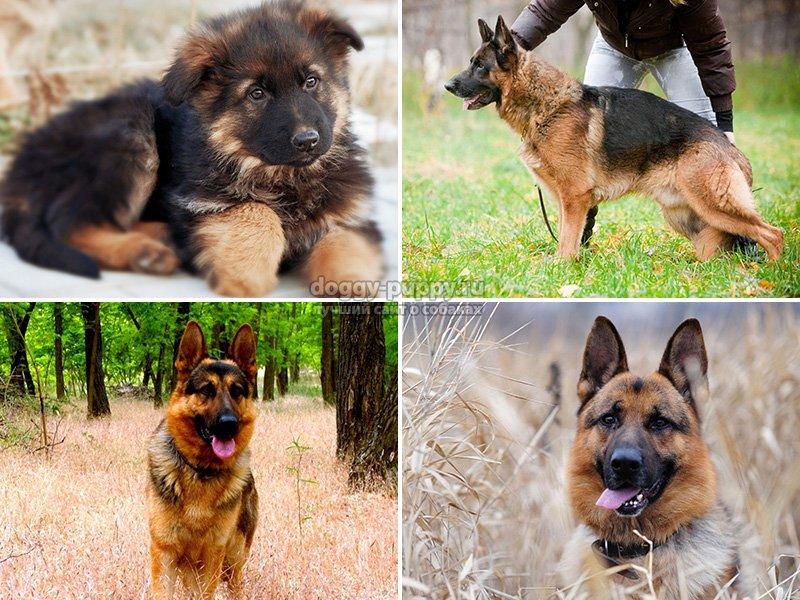 Как правильно выбрать кличку для щенка немецкой овчарки (кобеля и девочки)