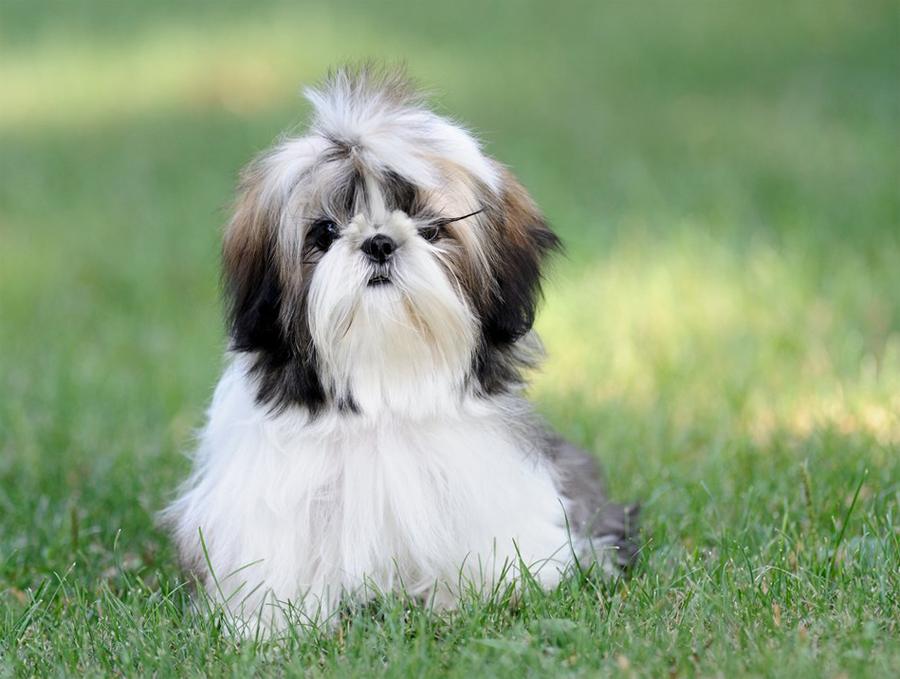 Ши-тцу ???? фото, описание, характер, факты, плюсы, минусы собаки ✔