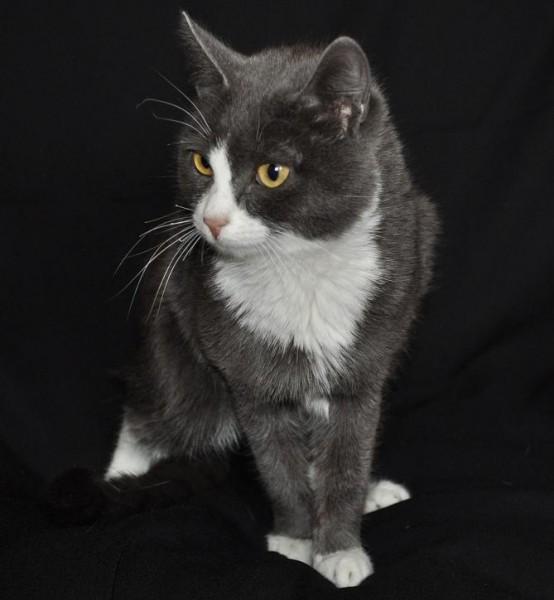 Очаровательные белые кошки с голубыми глазами: выбираем породу