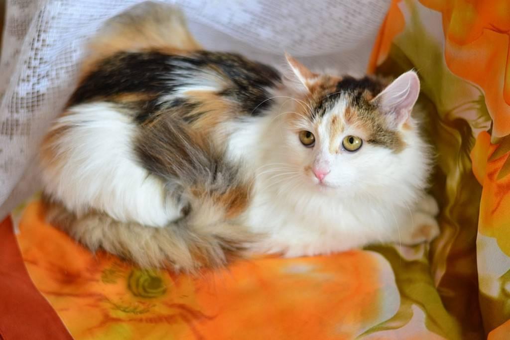 Генетика для чайников: какие бывают окрасы кошек и как они получаются