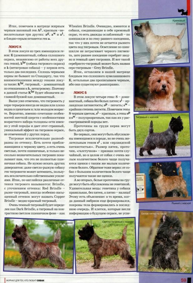Описание породы собак керн терьер с отзывами владельцев и фото