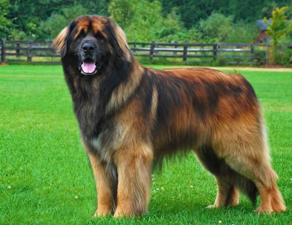 Самые дорогие собаки в мире: породы