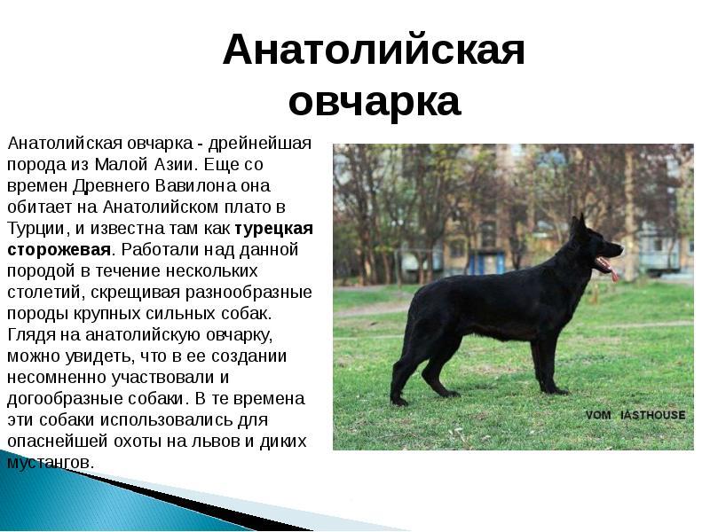 Овчарки: виды пород с фото с описанием