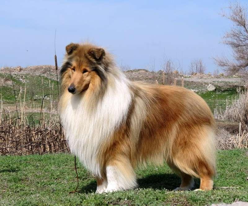 Бордер-колли - порода собак - информация и особенностях   хиллс