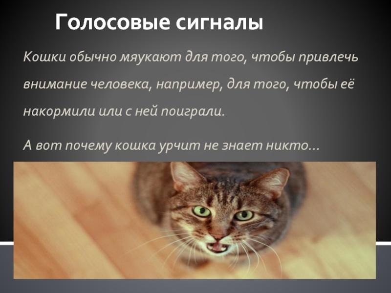 Почему кошка урчит: причины и как определить настроение кошки, польза урчания для человека