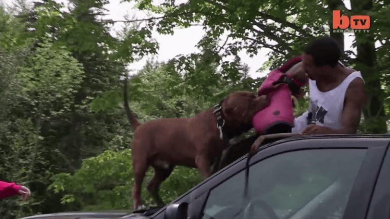 Самый большой в мире питбуль — халк: фото собаки, история его появления, особенности характера и привычки питомца