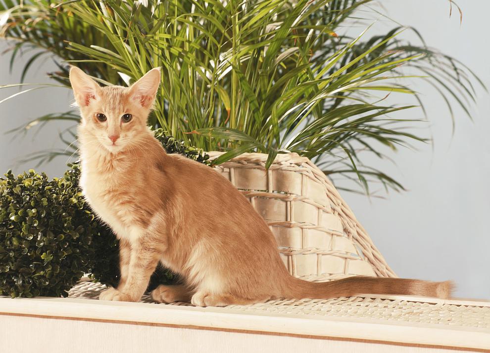 Яванская кошка - озорная красотка