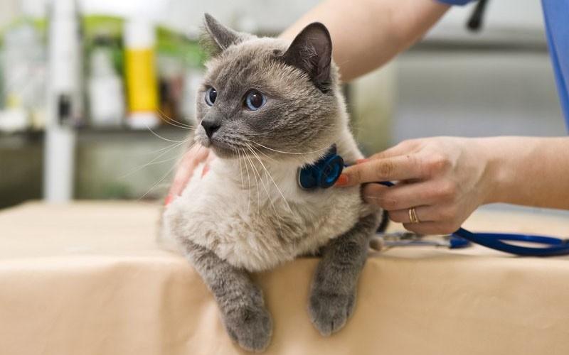 Как ухаживать за беременной кошкой?
