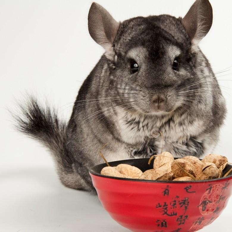Как правильно содержать и кормить шиншилл в домашних условиях?