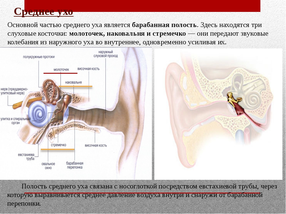 Отодектоз у собак и кошек: почему чешутся уши, капли - здоровье животных   сеть ветеринарных клиник, зоомагазинов, ветаптек в воронеже