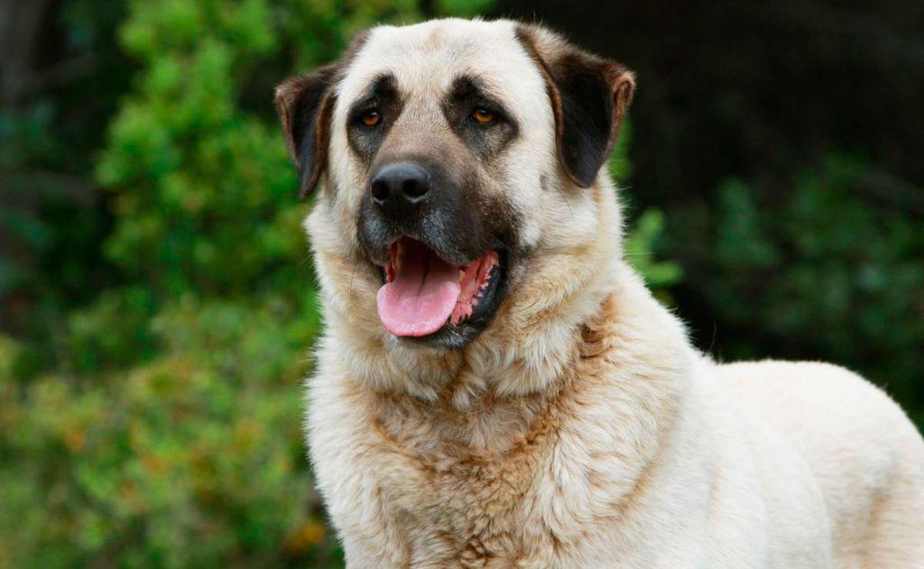 Особенности собак породы турецкий кангал
