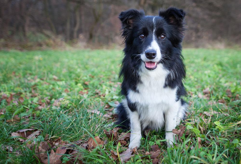 Бордер-колли: отзывы. «бордер-колли – универсальная собака для активного владельца»