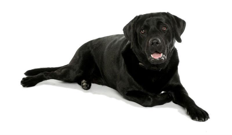 Лабрадор ретривер: общая характеристика и история породы, все о собаке, окрас, стандарты лабрадора (125 фото)