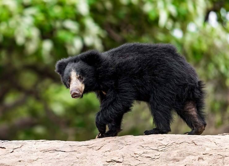 Бурые медведи: описание и среда обитания. интересные факты о бурых медведях