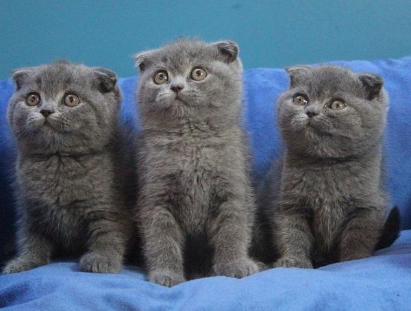Британская короткошерстная кошка - фото, описание породы, характер