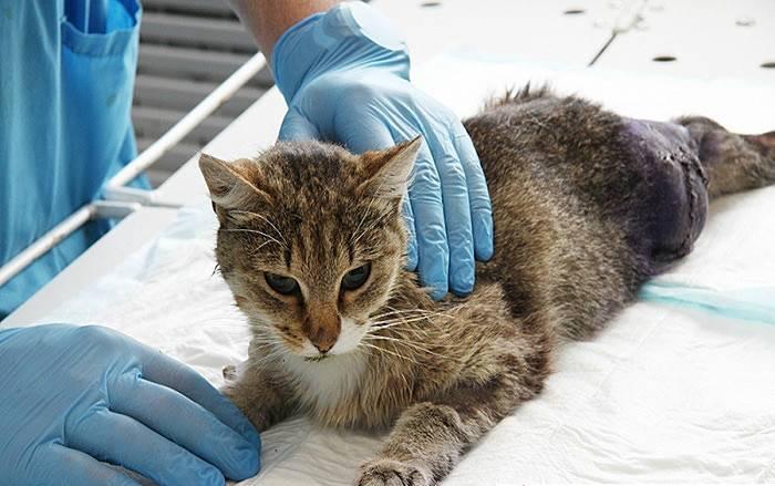 Кот сломал лапу симптомы - если кот сломал лапу, что делать