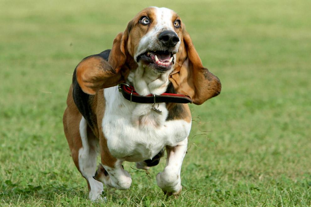 Бассет-хаунд ???? фото, описание, характер, факты, плюсы, минусы собаки ✔