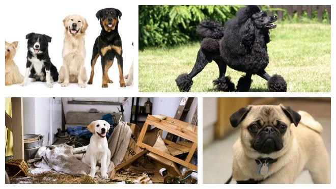 Топ-5 пород собак для ленивых владельцев. милые и неприхотливые!