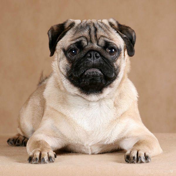 Породы собак, похожие на мопса