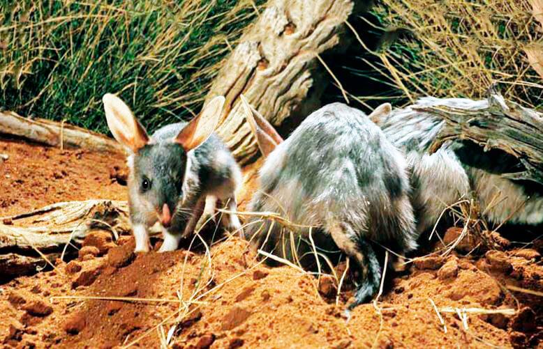 Малый кроличий бандикут. вид: macrotis leucura = малый кроличий бандикут животное бандикут