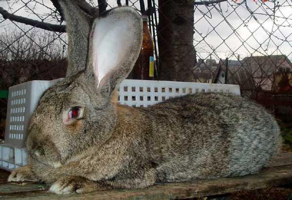 Кролики породы фландр — описание, характеристика, содержание, разведение.   cельхозпортал