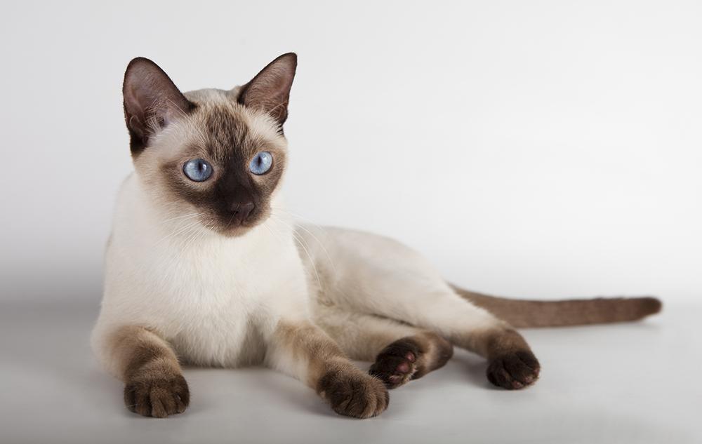 Тайская кошка (110 фото): описание породы с фотографиями кошки, варианты окраса шерсти, советы по уходу