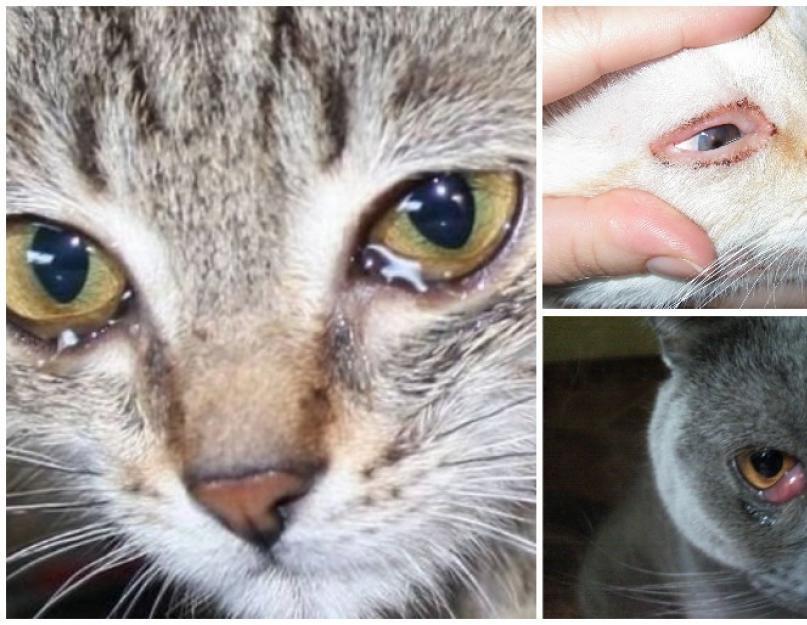 Почему у кошки (кота) гноятся глаза? как это вылечить? | ветеринарная офтальмология и микрохирургия глаза