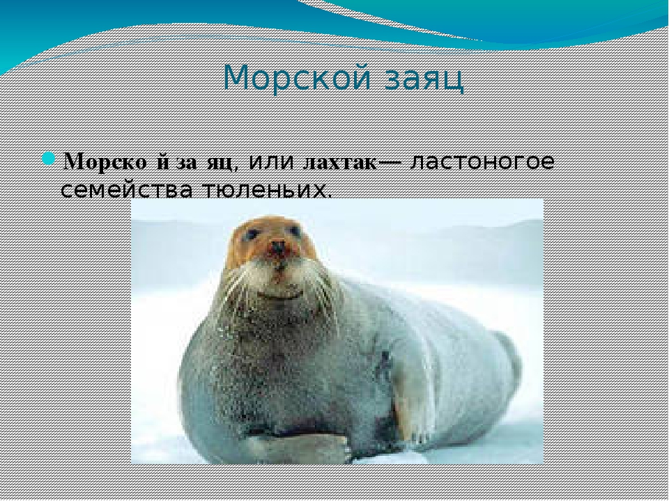 Лахтак. морской заяц, лахтак. ластоногие. erignathus barbatus, морской заяц, лахтак