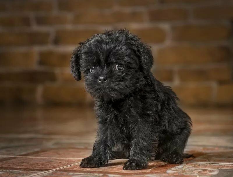 Аффенпинчер: подробное описание стандарта и содержания собаки (125 фото)